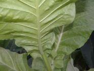Семена табака сорта VА- 080 (Берли)