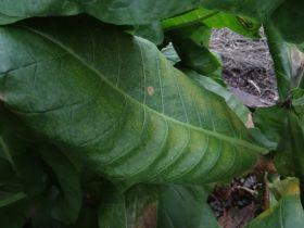 Семена табака сорта Green Brior (Берли)
