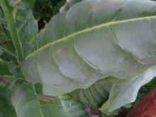 Семена табака сорта Virginia Bucak.
