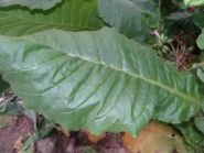 Семена табака сорта Virginia dark/Z.