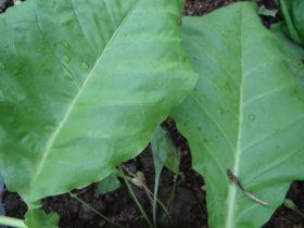 Семена табака сорта Вирджиния Арома
