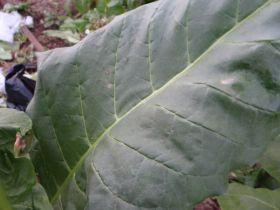 Семена табака сорта Virginia Helena