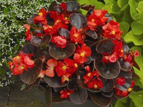 """Бегония вечноцветущая (бронзовая листва) (Begonia semperflorens) """"Eureka F1"""" (bronze scarlet)"""