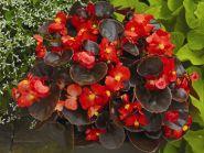 Бегония вечноцветущая (бронзовая листва)  красные цветы
