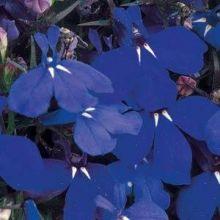 "Лобелия ежевидная (Lobelia erinus) ""Riviera"" (marine blue)"