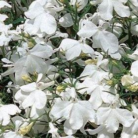 "Лобелия ежевидная (Lobelia erinus) ""Riviera"" (white)"