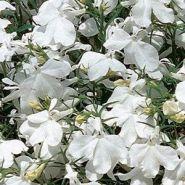 """Лобелия ежевидная (Lobelia erinus) """"Riviera"""" белый"""