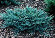 Можжевельник горизонтальный Блу Чип (Juniperus horizontalis Blue Chip)
