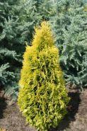 Туя западная Янтарь (Thuja occidentalis Jantar)