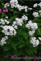 Сеянец флокса 'Вилли' / Phlox Seedling 'Villi'