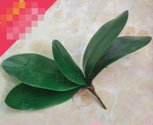 Листья и корни орхидеи