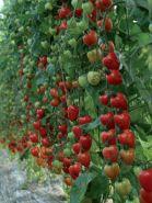 """Томат сорт """"КЛУБНИЧКА"""" (TOMATOBERRY)   8 семян"""