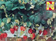 """Клубника сорт """"ИСКУШЕНИЕ"""" (TEMPTATION) 25 семян"""