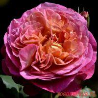 Сентенер де Лей-Ле  (Centenaire de l'Haÿ-les-roses)