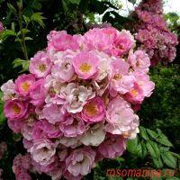 Эппл Блоссом (Apple Blossom)