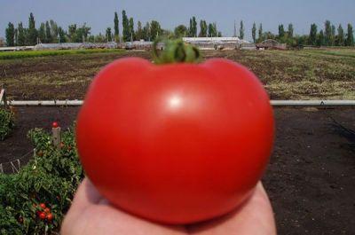 """Купить томат """"Багира"""" F1 (20 семян) от Clause"""