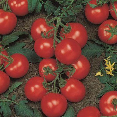 """Купить томат """"Ричи"""" F1 (20/100 семян) от Bejo"""