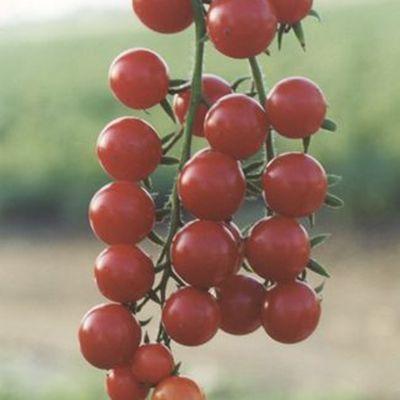 """Купить томат """"Сомма"""" F1 (10/100 семян) от Nunhem"""