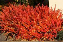 Барбарис Тунберга Оранж Дрим (Berberis thunbergii Orange Dream)