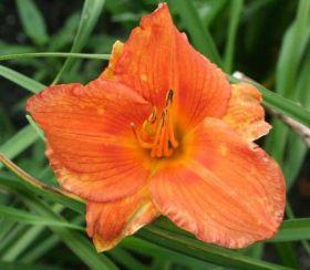 Лилейник гибридный Индиан Пэйнтбраш (Hemerocallis Indian Paintbrush)