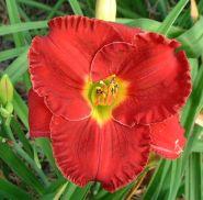 Лилейник гибридный Силоам Пол Ваттс (Hemerocallis hybrida Siloam Paul Watts)