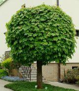 Клен остролистный Глобозум (Acer platanoides Globosum)