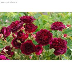 Роза кустарниковая Манстед Вуд, Д.Остин