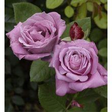 Роза чайно-гибридная Блу Парфюм