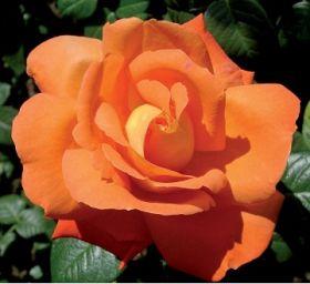 Роза чайно-гибридная Луи де Фюнес