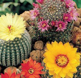 """Кактус """"МИКС"""" (Cactus mix) 0.20 гр семян"""