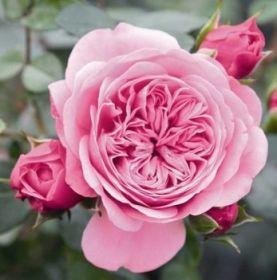 Роза чайно-гибридная Ева