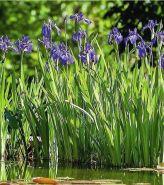 Ирис сибирский (Iris sibirica BR)