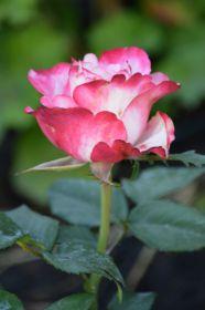 Роза чайно-гибридная Свитнес