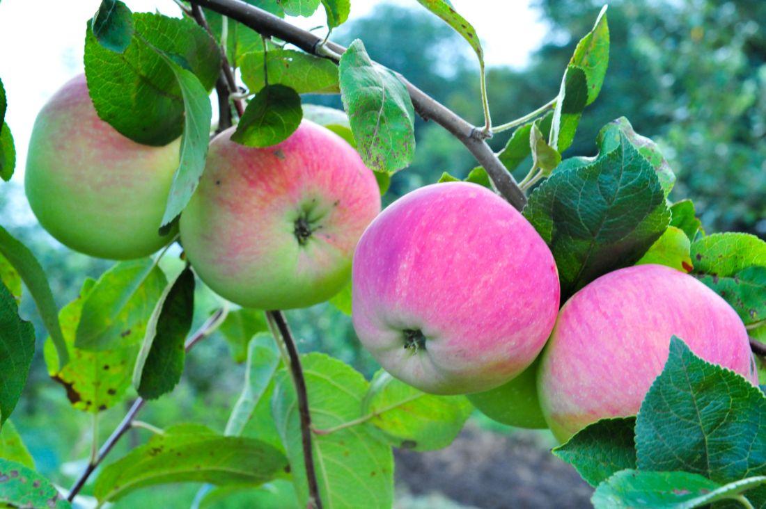 саженцы яблони сорт мельба