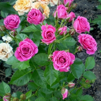 Роза Лавли Лидия. (Lovely Lydia) Спрей