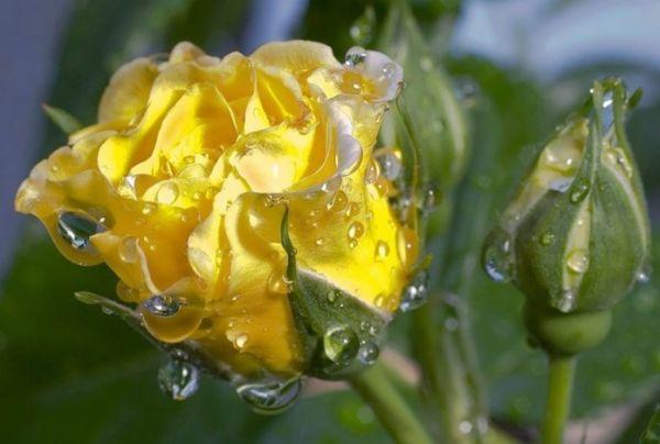 Роза Голден Микадо. (Golden Mikado) Спрей
