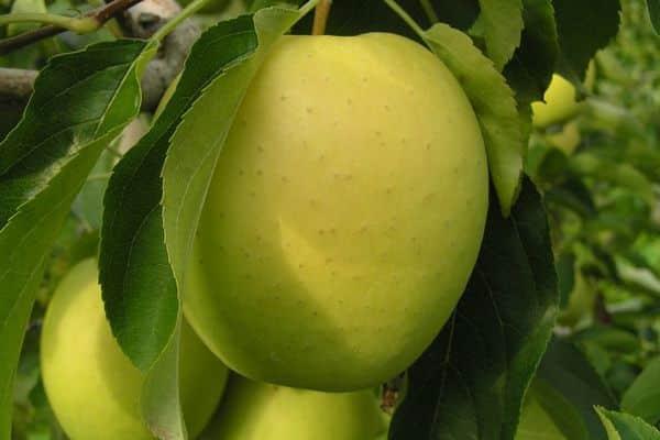 саженцы яблони сорт каштеля
