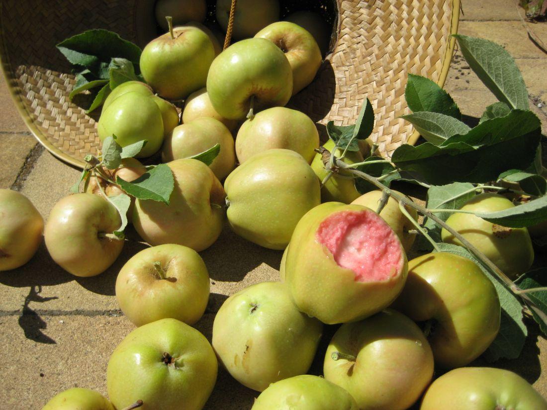 Pink Pearl (Пинк Перл) яблоня