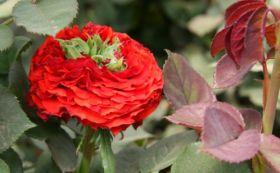 Роза чайно-гибридная Ред Ай