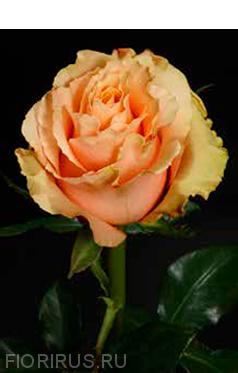 Роза Эквадорская Карпе Дием (Carpediem)