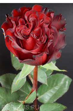 Роза Эквадор Хартс (Hearts)