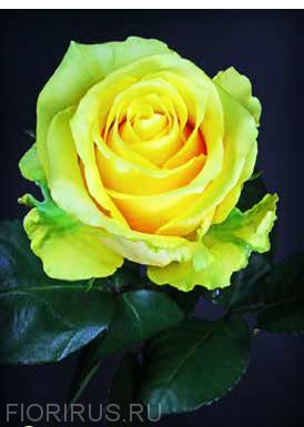 Роза Эквадор Butter Scotch