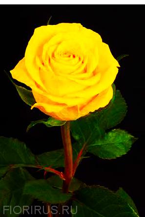 Роза Эквадор Брайтон (Brighton)