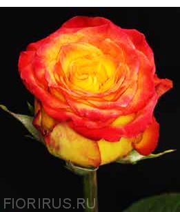 Роза Эквадор Циркус (Circus)