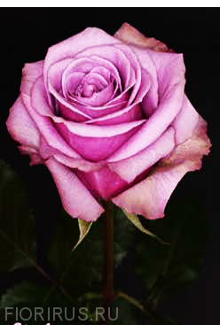Роза Эквадор  Блу Куриоза (Blue Curiosa)