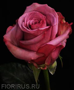 Роза Эквадор Кул Ватер (Coolwater)