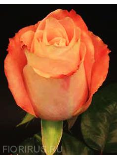 Роза Эквадор Фадо (Fado)