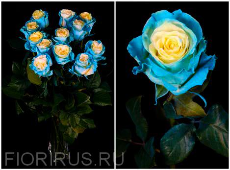 Роза Эквадор Эдж мондиал бэйби блу (Edge Mondial Baby Blue)