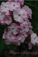 Флокс Цветущая Сакура' / Phlox 'Cvetushhaja Sakura'