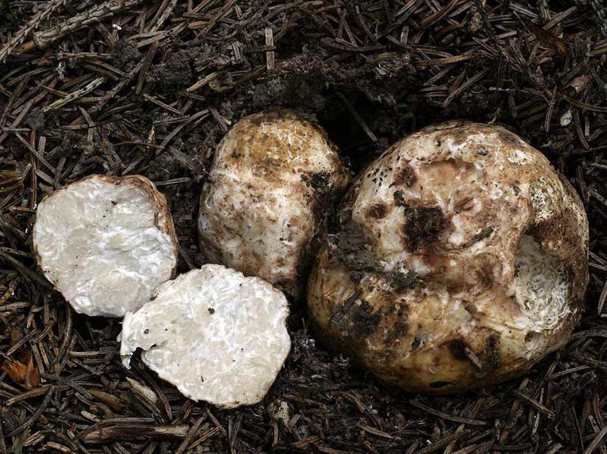 Мицелий трюфеля итальянского (белого) (10 шт)